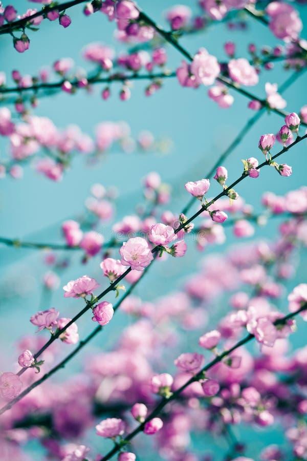 Tedere roze sakuraachtergrond royalty-vrije stock foto's