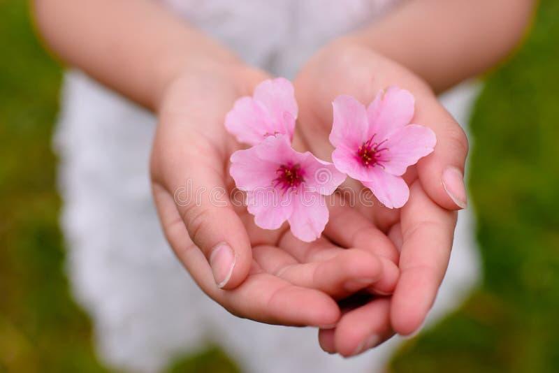 Tedere sakura in de handen van kind stock afbeelding