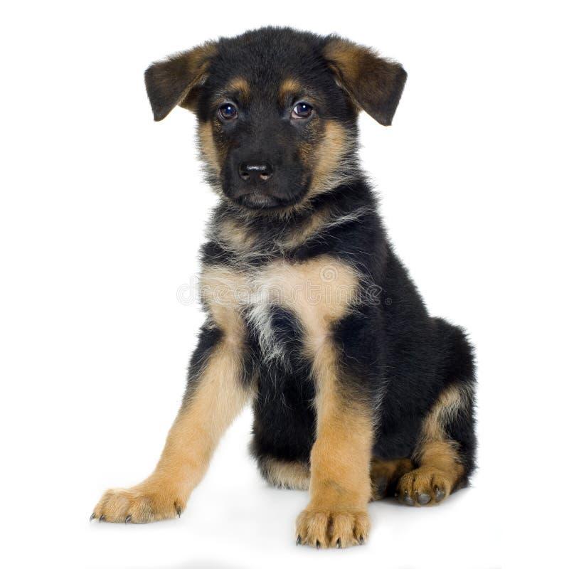 Tedesco pastore (7)/alsatian, cane di settimane di polizia fotografie stock libere da diritti