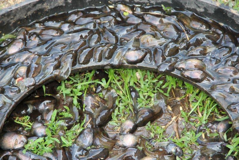 Tedpoles dans l'eau et sur l'herbe Petits amphibies image libre de droits