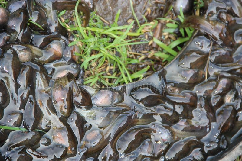 Tedpoles dans l'eau et sur l'herbe Petits amphibies photos libres de droits