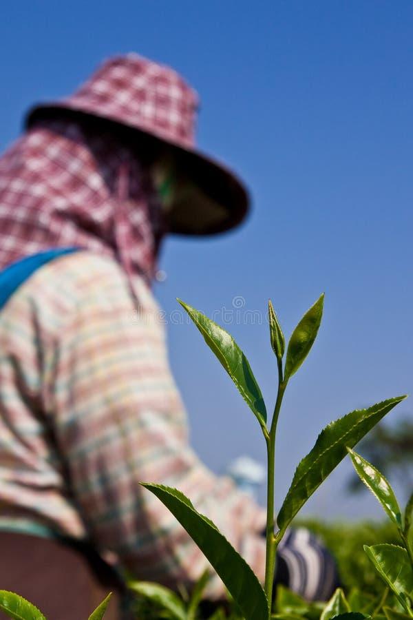 Tee, der im Norden von Thailand kultiviert lizenzfreie stockfotografie