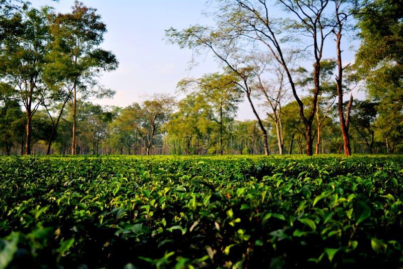 Tee-Garten Darjeeling stockfotos