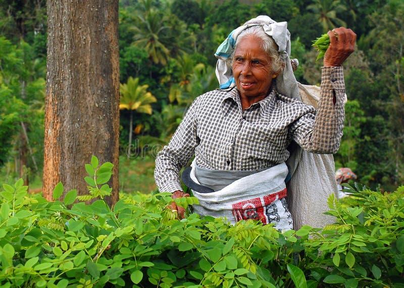 Tee-Picker bei der Arbeit lizenzfreie stockbilder