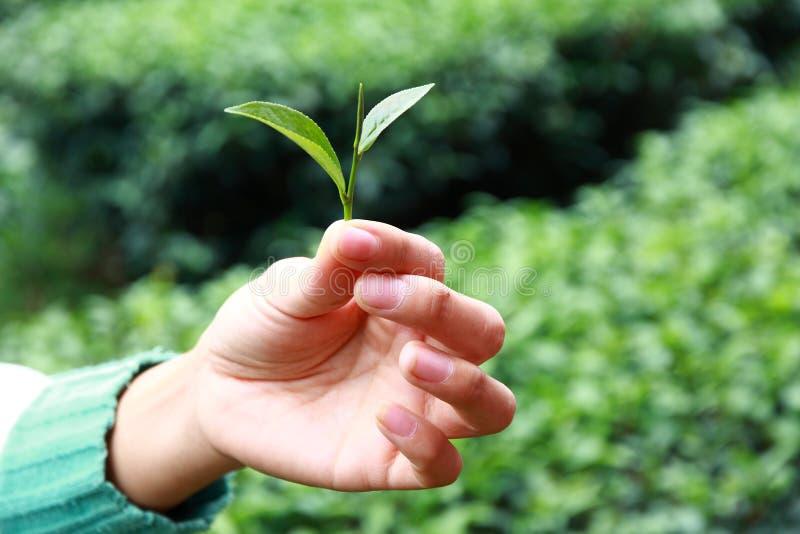 Tee-Picker-Hände stockfoto