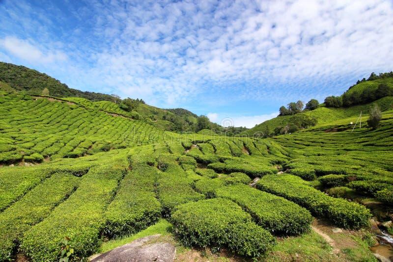 Tee-Plantage 01 lizenzfreie stockfotos