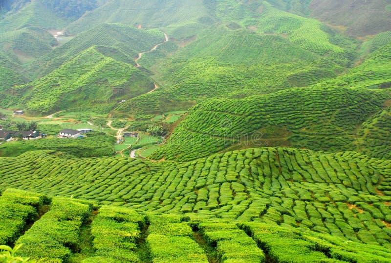 Tee-Plantage lizenzfreies stockfoto