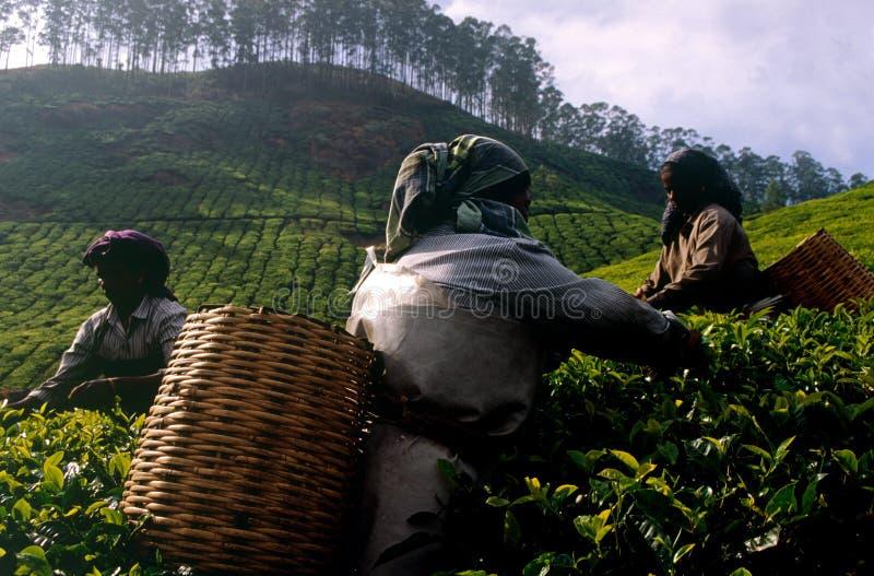 Tee-Plantage lizenzfreie stockfotografie