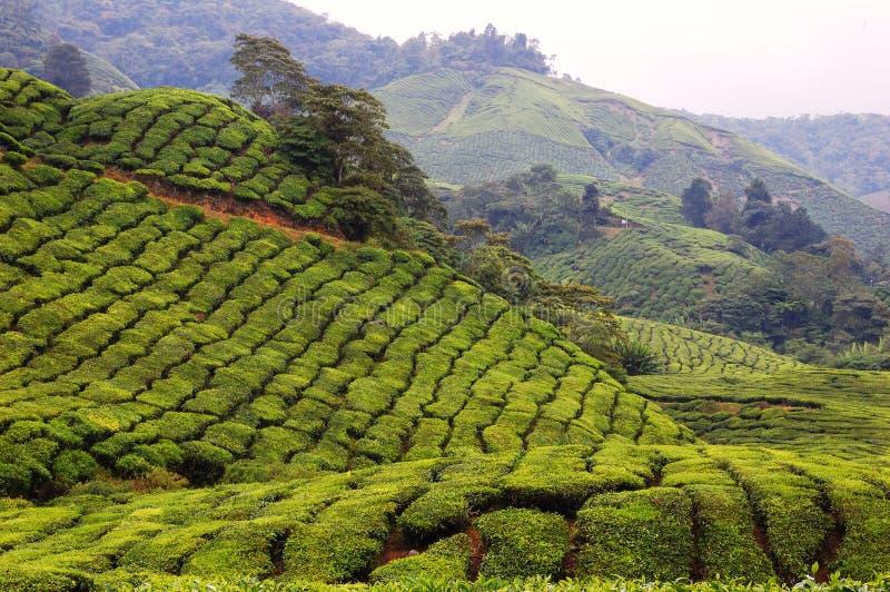 Tee-Plantage-Bauernhof in den Cameron-Hochländern lizenzfreies stockfoto