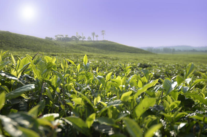 Tee-Plantage Cameroon stockfotografie