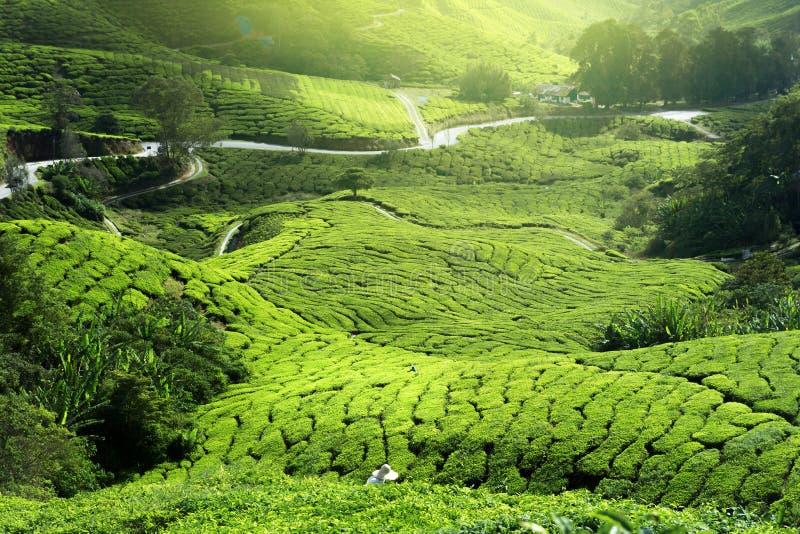 Tee-Plantage im Nebel lizenzfreie stockfotos