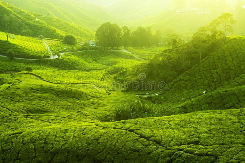 Tee-Plantagen stockfoto