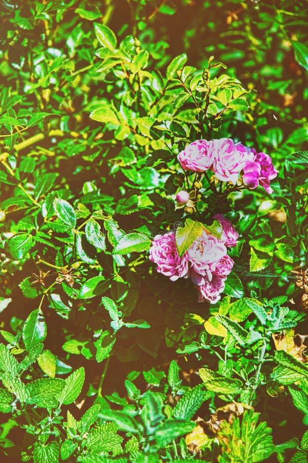 Tee stieg am Innenhof in Yverdon von die Schweiz-Sommer stockfotos