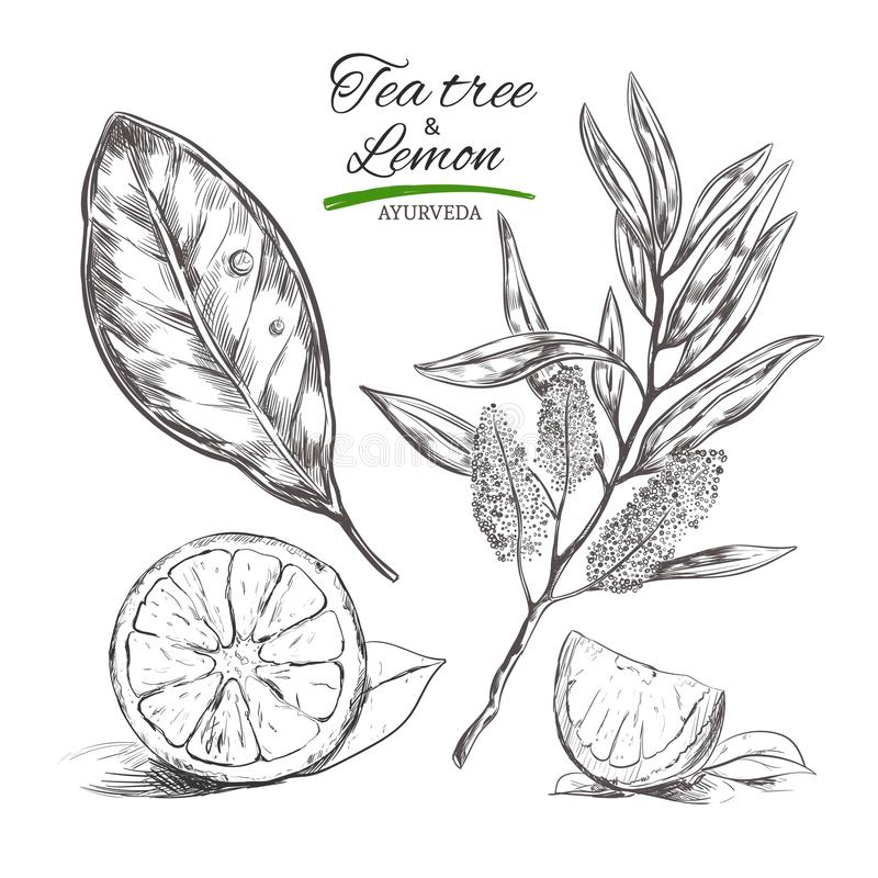Tee tree and lemon. Vector hand drawn collection.Natural herbs and flowers. Beauty and Ayurveda. Organic cosmetics. Tee tree and lemon. Vector hand drawn vector illustration