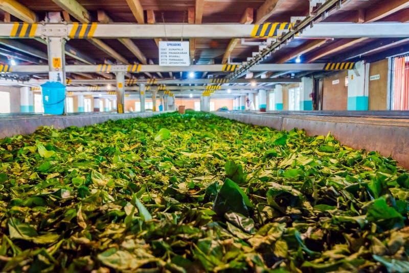 Tee treibt Blätter, trocknend in einer Fabrik lizenzfreies stockbild