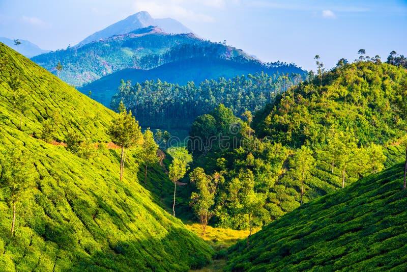 Teeackerland in Munnar (Kerala, Indien) stockbild