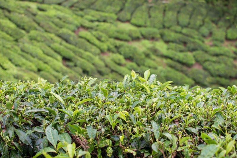 Teebäume und -blätter an den Plantagen in Cameron Highlands, Malaysia lizenzfreie stockbilder