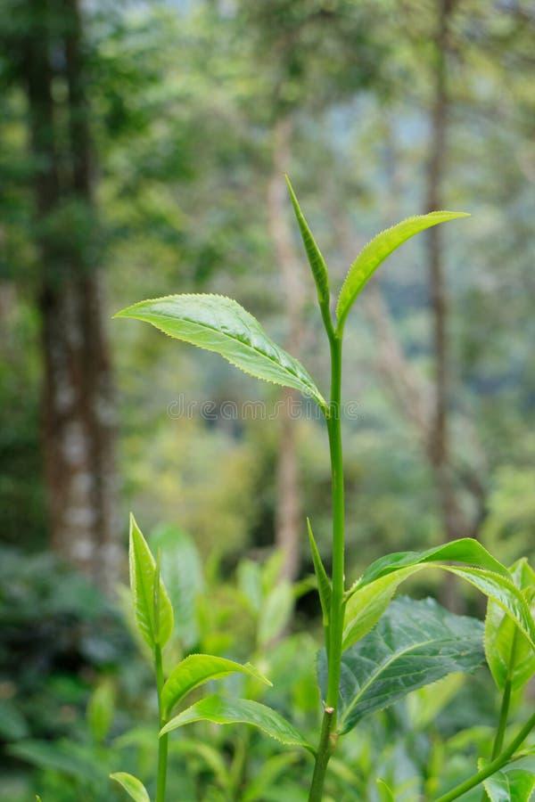Teeblätter oder assamica Teeblätter, zwei Blätter und eine Knospe lizenzfreie stockfotografie