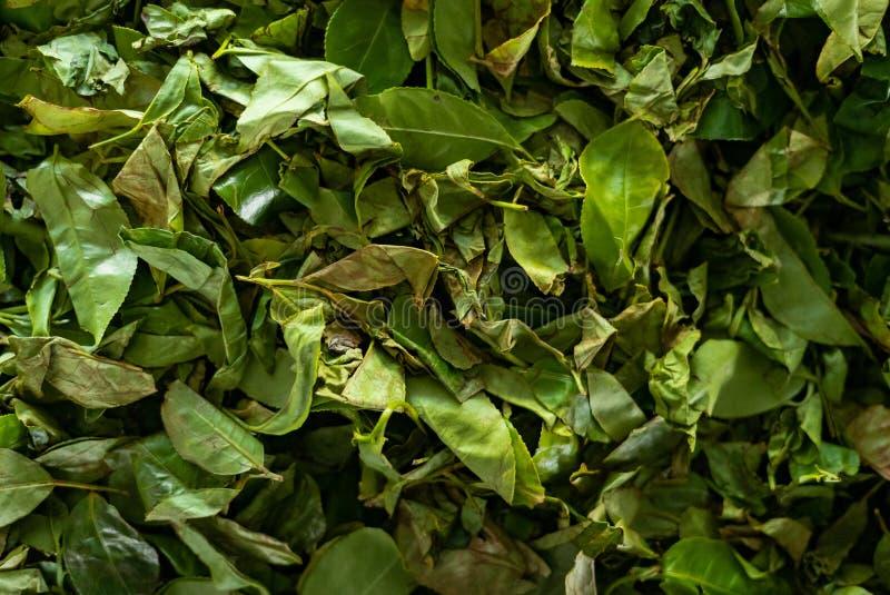 Teeblätter werden in einem Teefabrikhintergrund getrocknet stockbilder