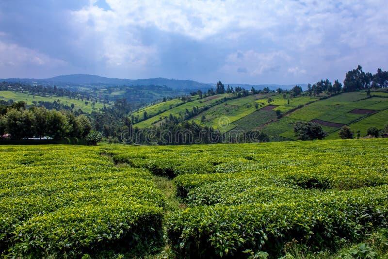 Teefelder lizenzfreie stockbilder
