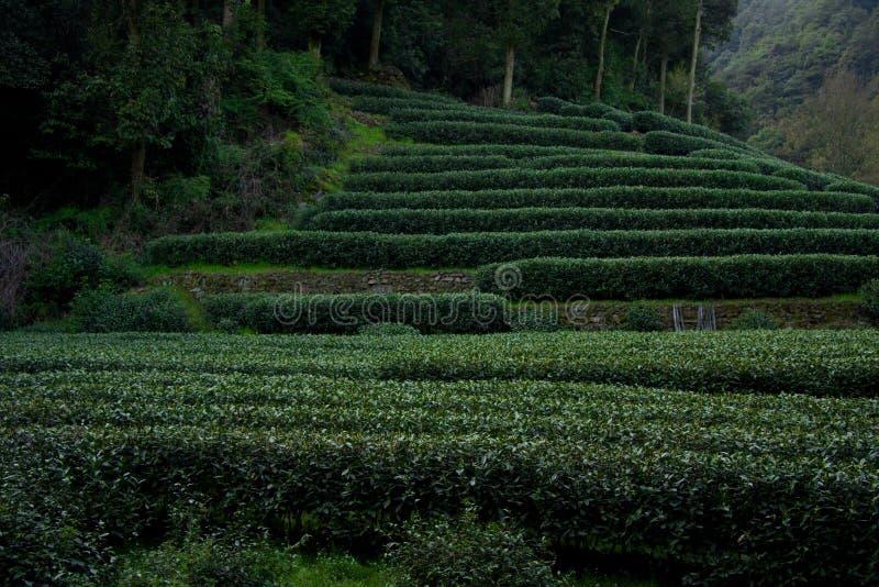 Teegarten lizenzfreie stockbilder