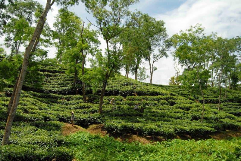 Teegarten bei Sylhet, Bangladesch lizenzfreies stockfoto
