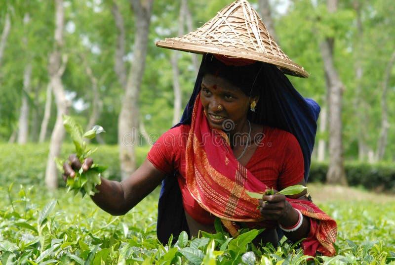 Teegarten bei Sylhet, Bangladesch lizenzfreies stockbild