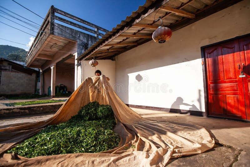 Teelandwirt, der die Bl?tter auf Gewebe am Hof f?r nat?rlichen Trockner legt Doi Mae Salong, Chiang Rai, Thailand stockbilder