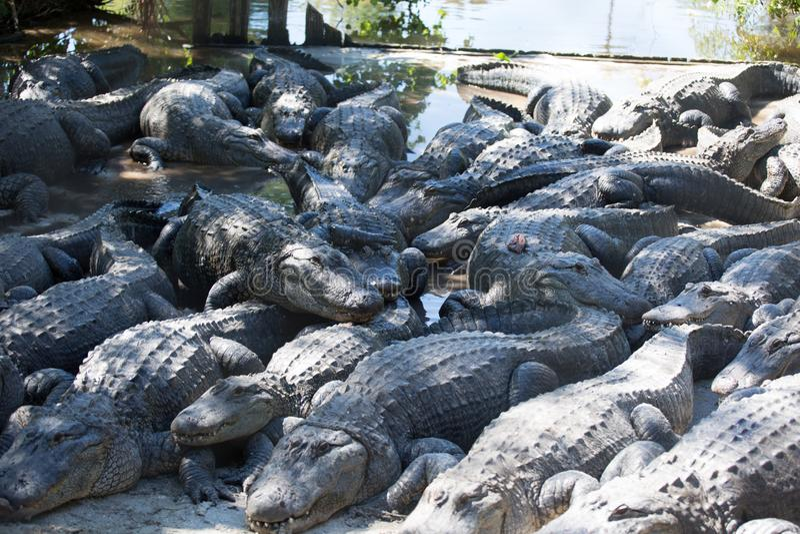 Teem of Gators royalty free stock photos