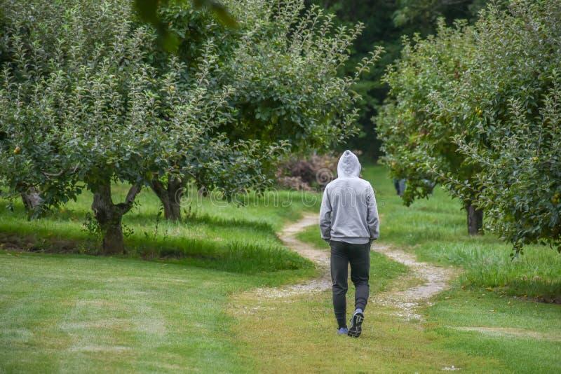 Teen Boy Walking through an Apple Orchard royalty free stock image