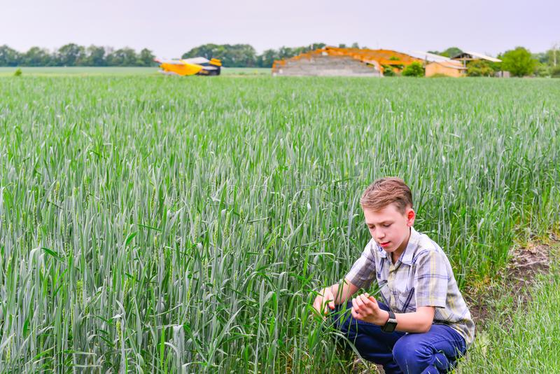 A teenager sits and studies green wheat in agriculture royalty free stock image