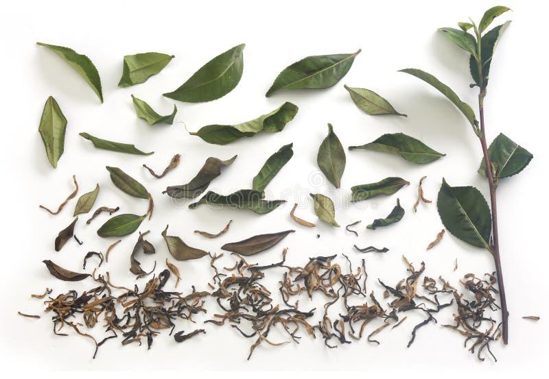 Teeniederlassung und -blätter mit getrocknetem Tee lizenzfreies stockbild