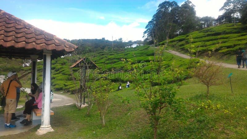 Teepflanze-Erdbeere am Landwirtschaftstechnologie-Park in MARDI Cameron Highlands Malaysia lizenzfreies stockfoto