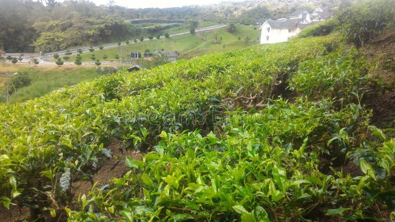 Teepflanze-Erdbeere am Landwirtschaftstechnologie-Park in MARDI Cameron Highlands Malaysia lizenzfreie stockbilder