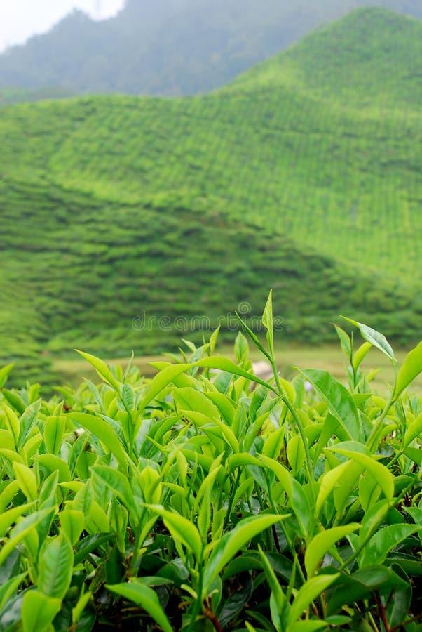 Teeplantage lizenzfreie stockfotos