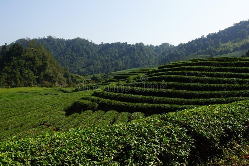 Teeplantage in Fujian-Provinz, China stockfotos
