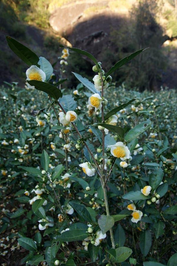 Teeplantage in Fujian-Provinz, China lizenzfreies stockbild