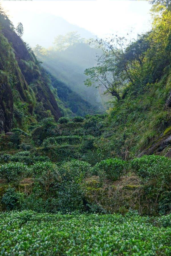 Teeplantage in Fujian-Provinz, China lizenzfreie stockbilder