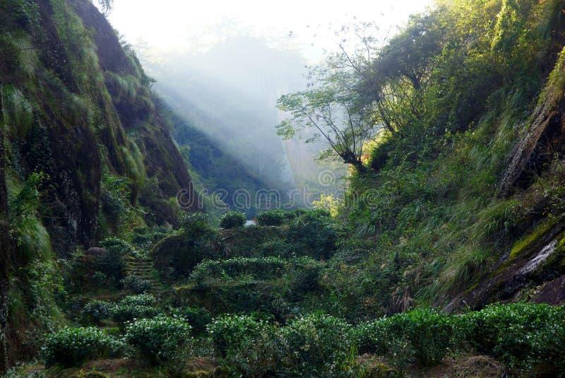 Teeplantage in Fujian-Provinz, China stockbilder