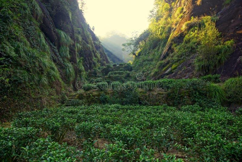 Teeplantage in Fujian-Provinz, China lizenzfreie stockfotos