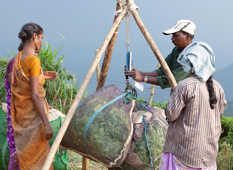 Teeplantage in Munnar, Kerala, Süd-Indien stockfotografie