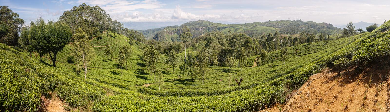 Teeplantage in Sri Lanka lizenzfreie stockfotos