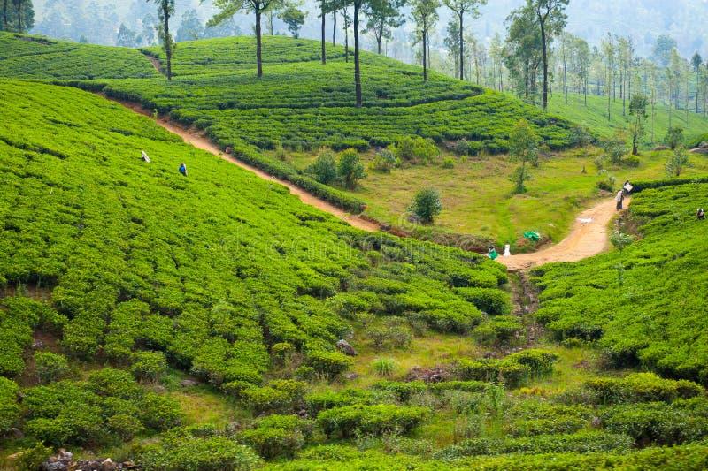 Download Teeplantagelandschaft stockfoto. Bild von niemand, betrieb - 26351590
