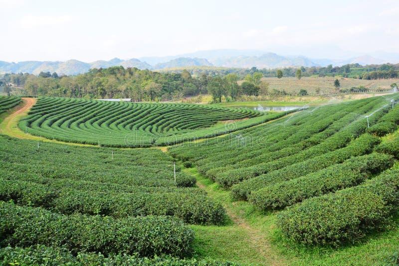 Teeplantagen stockfoto
