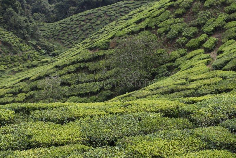 Teeplantagen auf Cameron Highlands Tanah Rata, Malaysia stockbild