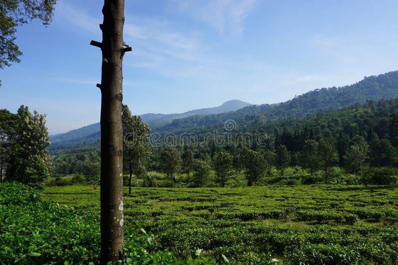 Teeplantagen mit grüner Farbe und schöner Landschaft als Hintergrund stockbilder