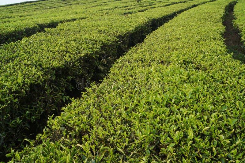 Teeplantagen walini, Ciwalini, Bandung, Indonesien lizenzfreie stockfotografie