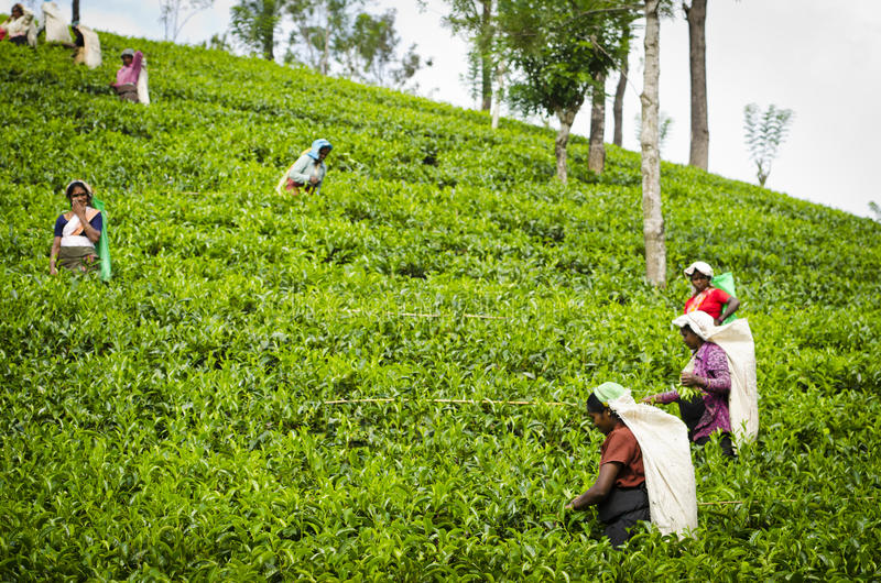 Teesammeln im Sri- Lankahügelland lizenzfreie stockfotografie