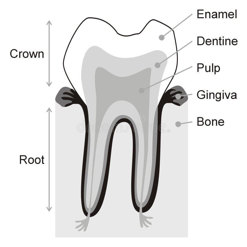 Teeth royalty free stock photos