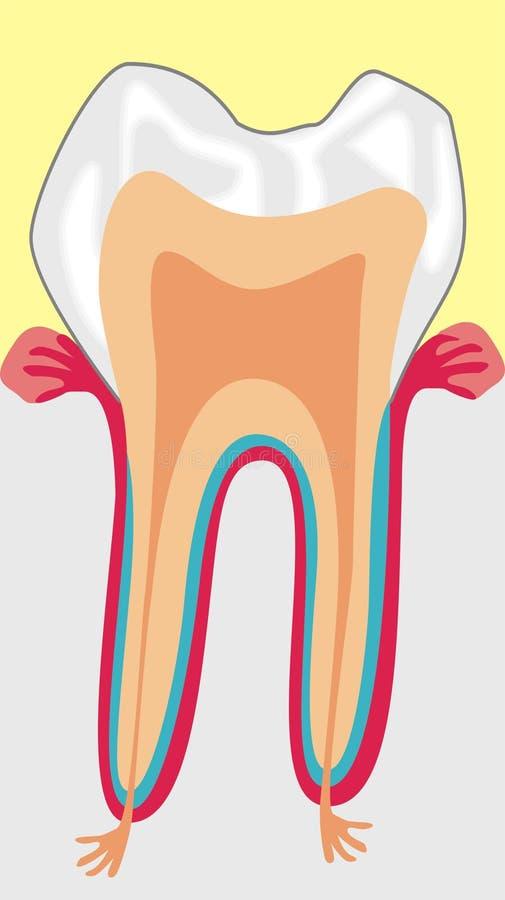Download Teeth stock vector. Image of parts, crown, dentist, health - 6156554